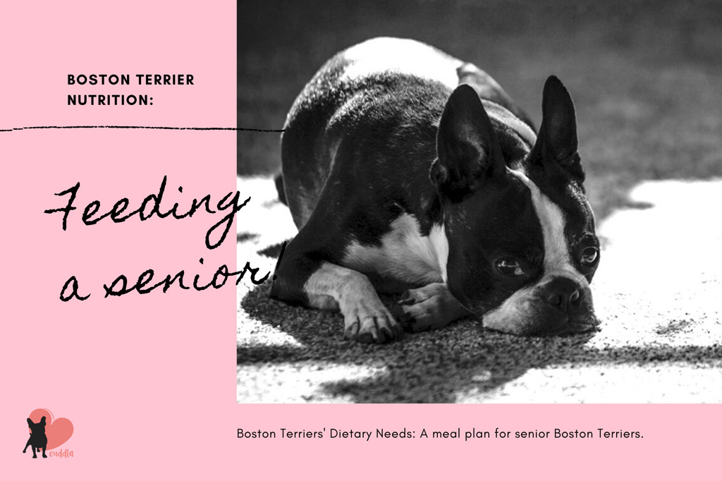 boston-terrier-dietary-needs-senior