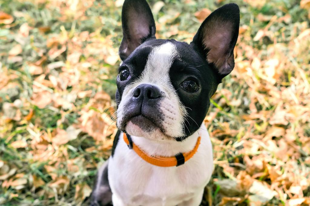 boston-terrier-digging-habit