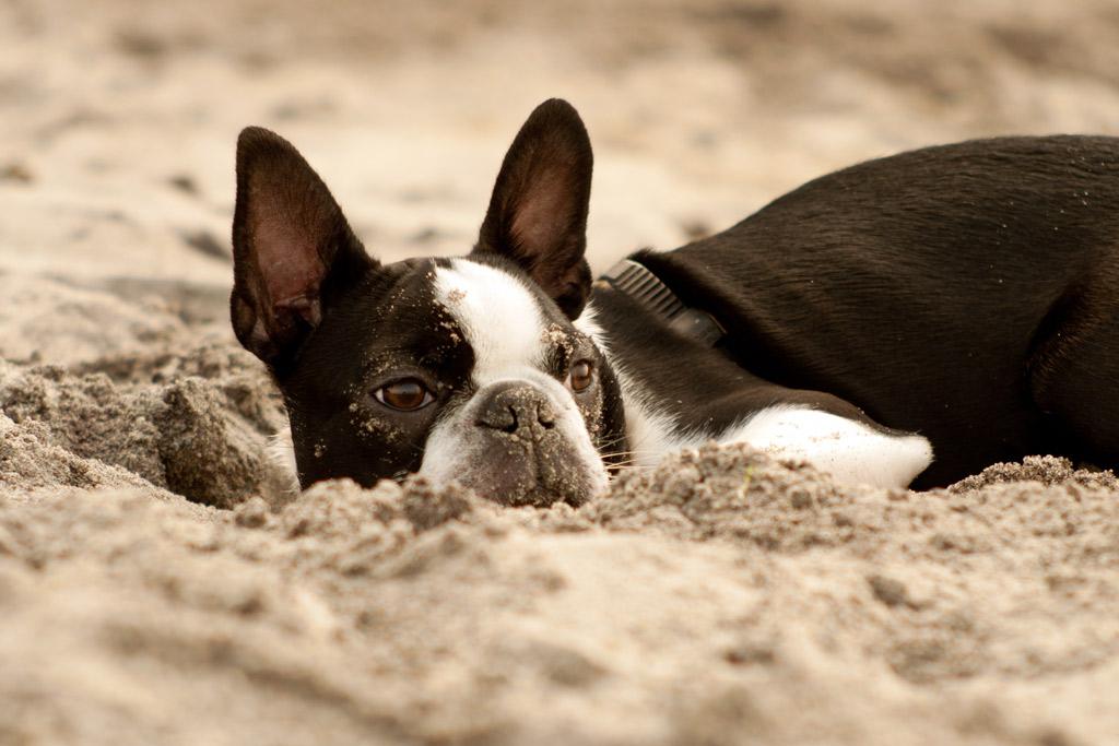 boston-terrier-digging-holes