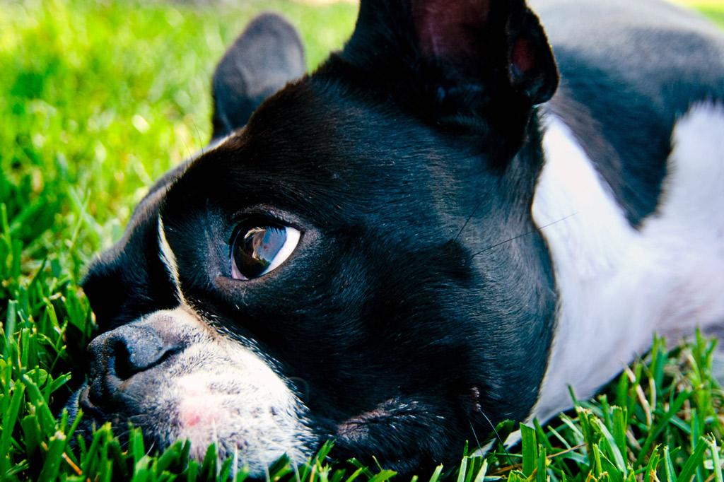 boston-terrier-digging-reasons