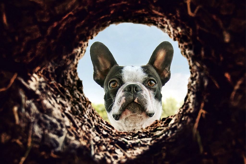 boston-terrier-digging