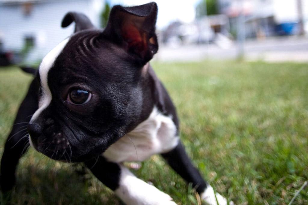 boston-terrier-drooling