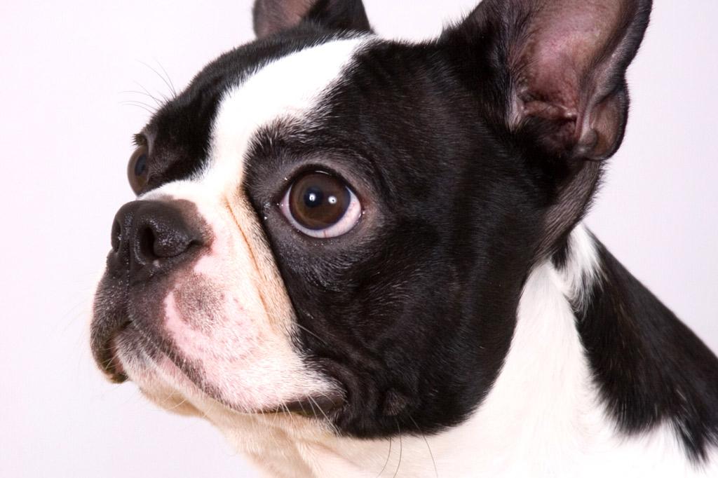 boston-terrier-ear-canal