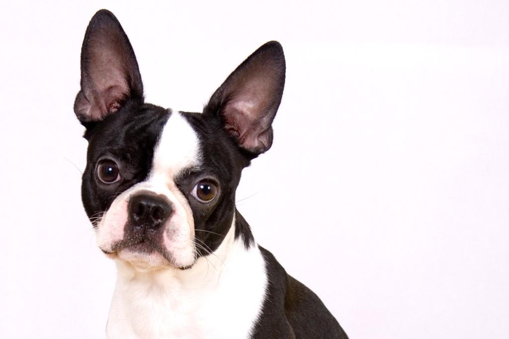 boston-terrier-ears