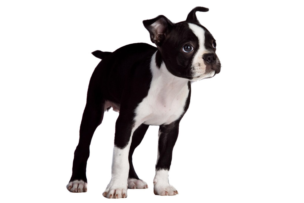boston-terrier-eating-human-foods