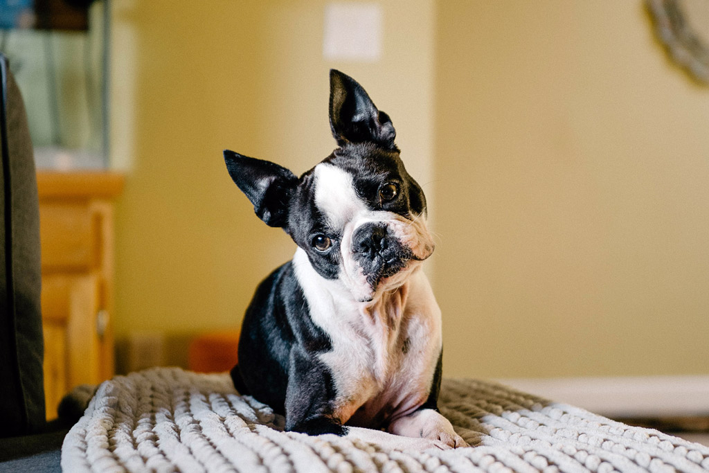 boston-terrier-eliminate-dander-at-home