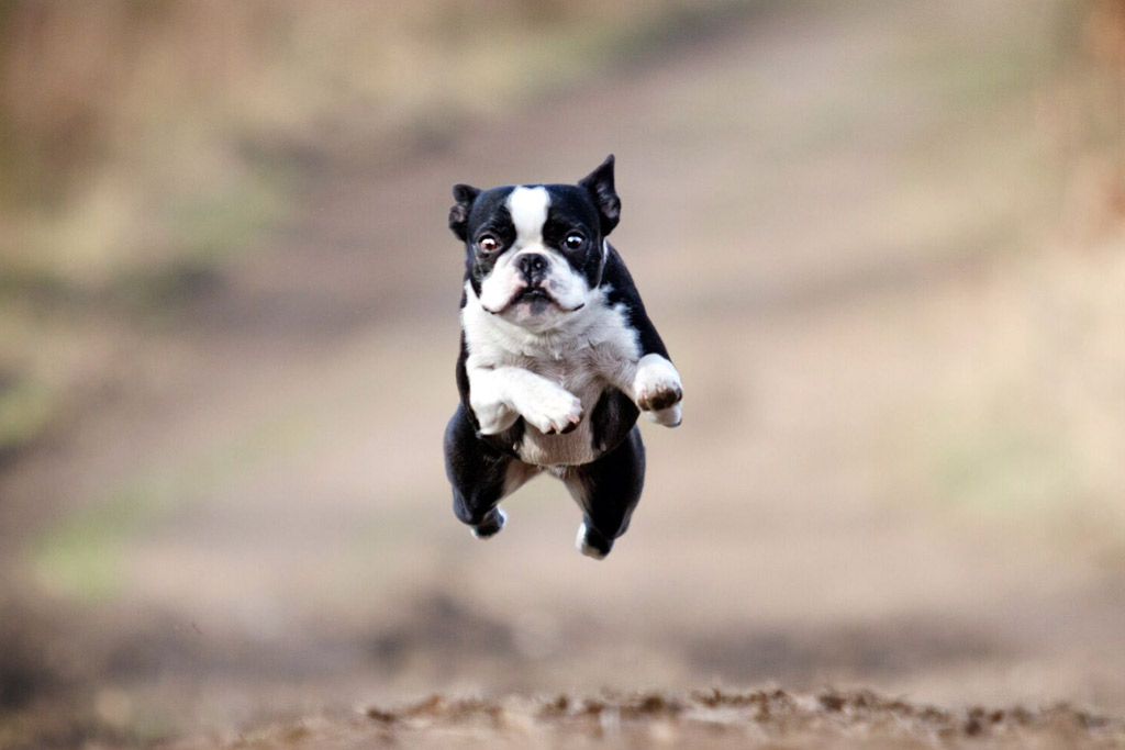 boston-terrier-exercise-adult-dog