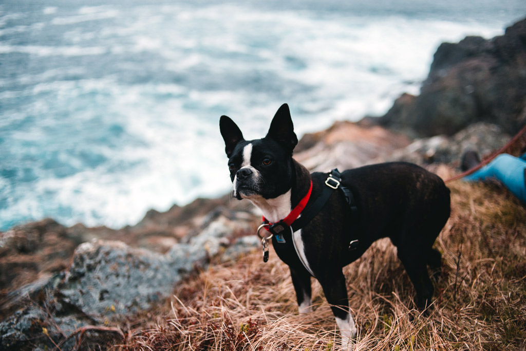 boston-terrier-exercise-needs
