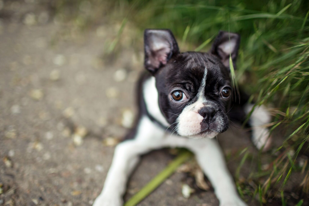 boston-terrier-exercise-puppy