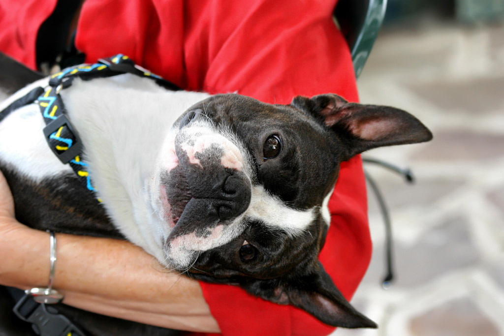 boston-terrier-exercise-requirements