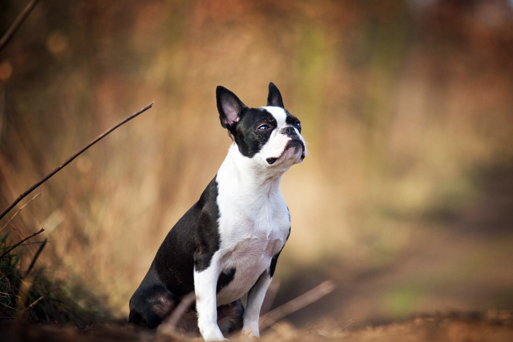 boston-terrier-exercise