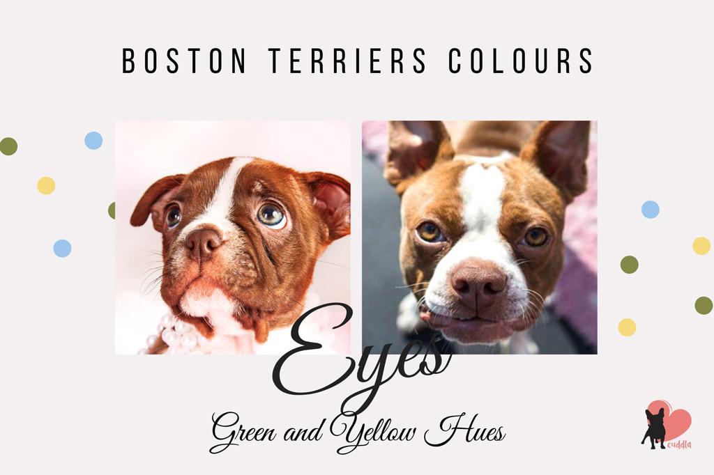 boston-terrier-eye-colours-green-or-yellow