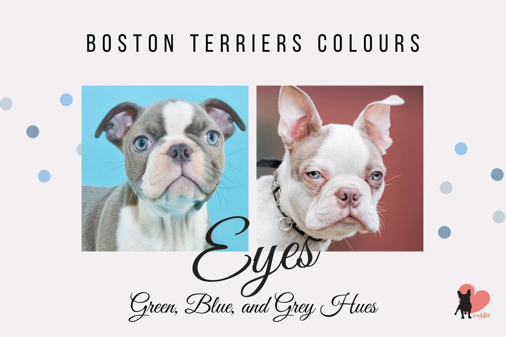 boston-terrier-eye-colours-grey-or-blue