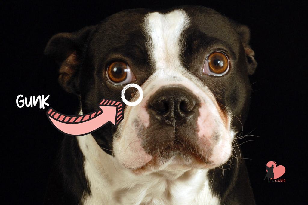 boston-terrier-eye-gunk