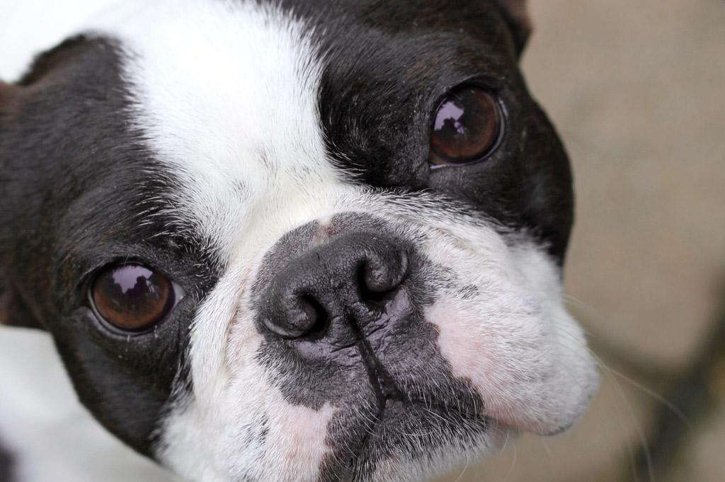 boston-terrier-eye-problems
