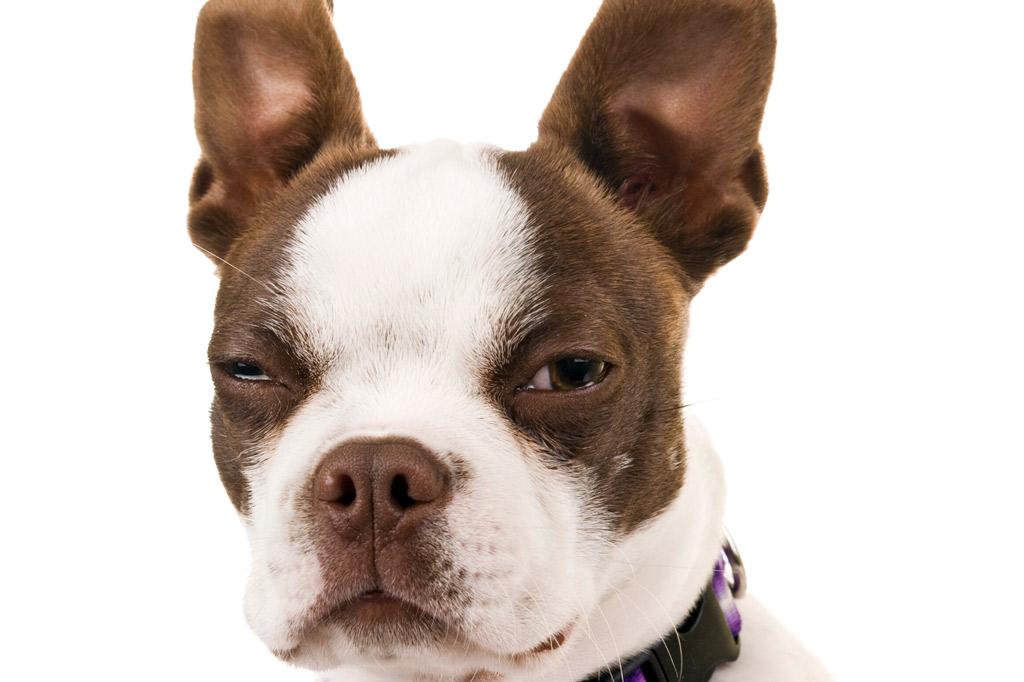 boston-terrier-eye-tearing