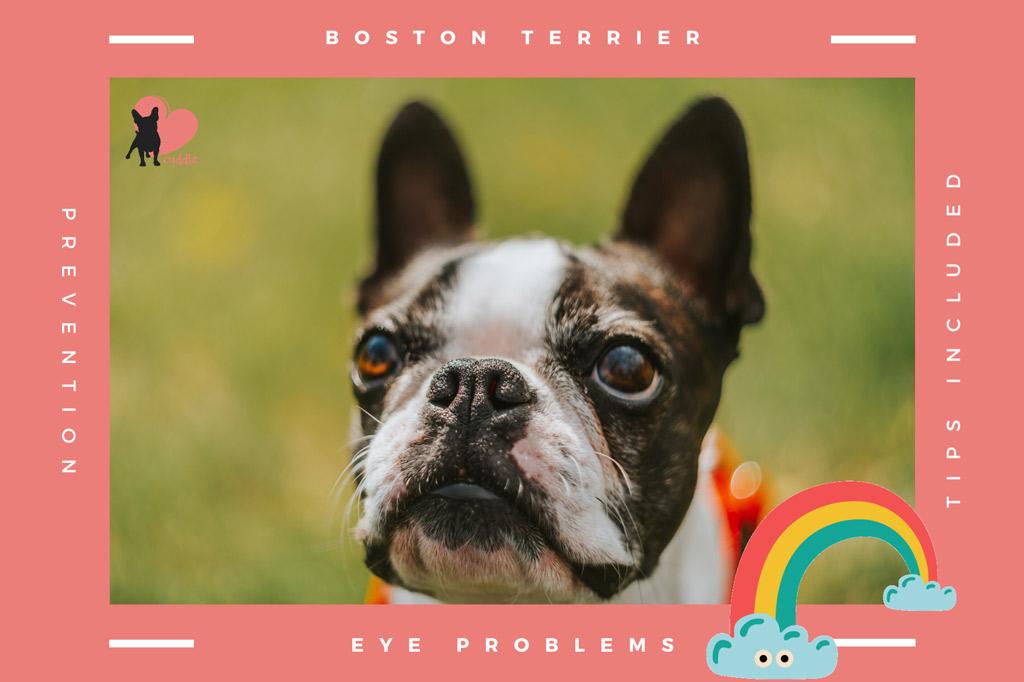 boston-terrier-eyes