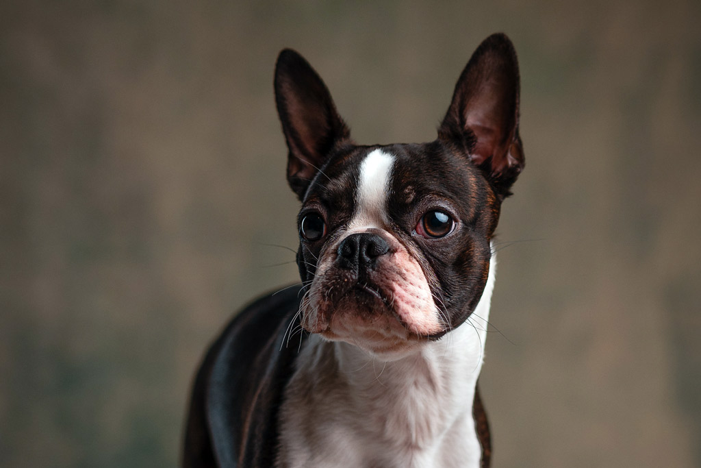 boston-terrier-face-wrinkles