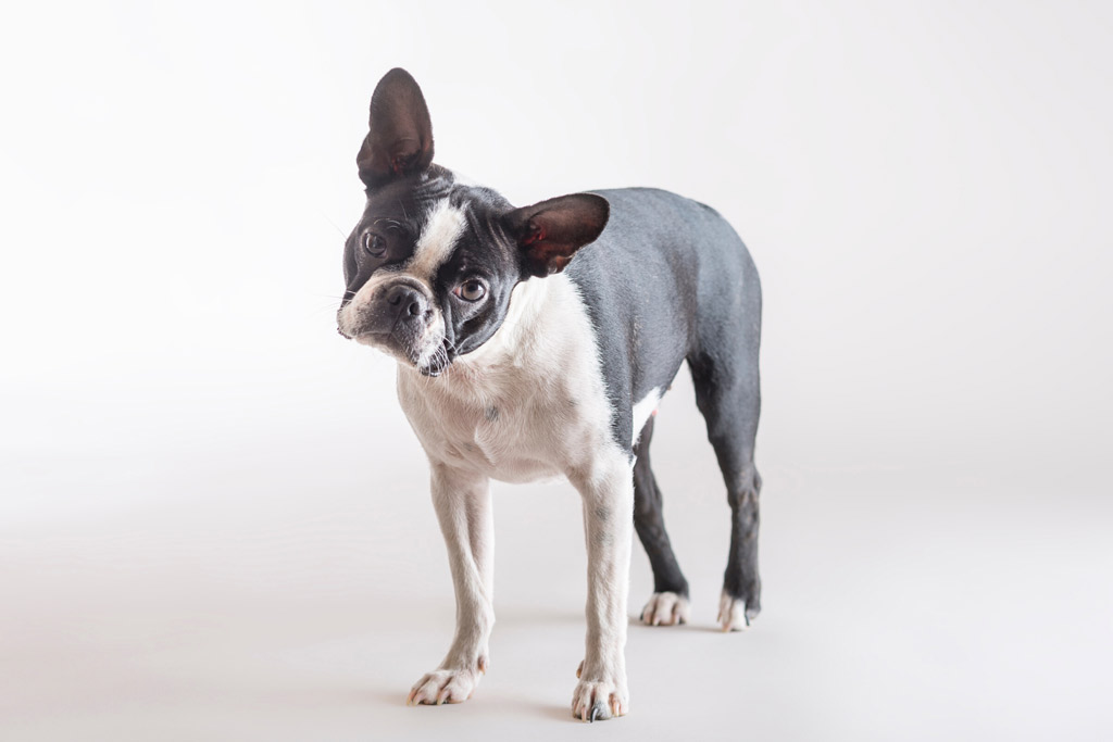 boston-terrier-farting-remedies