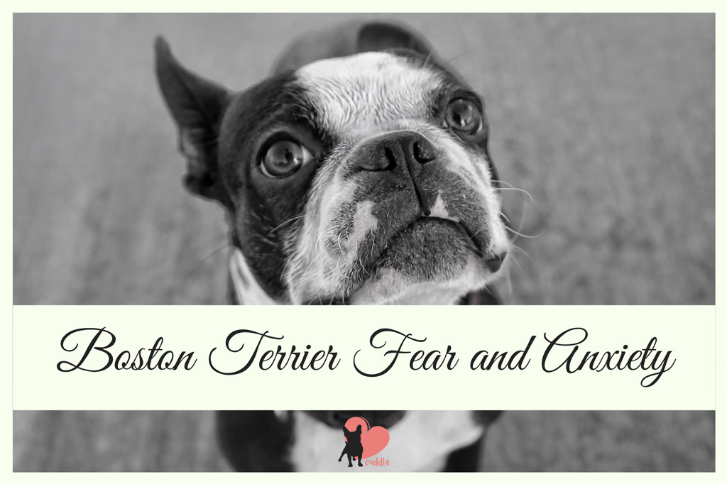 boston-terrier-fear