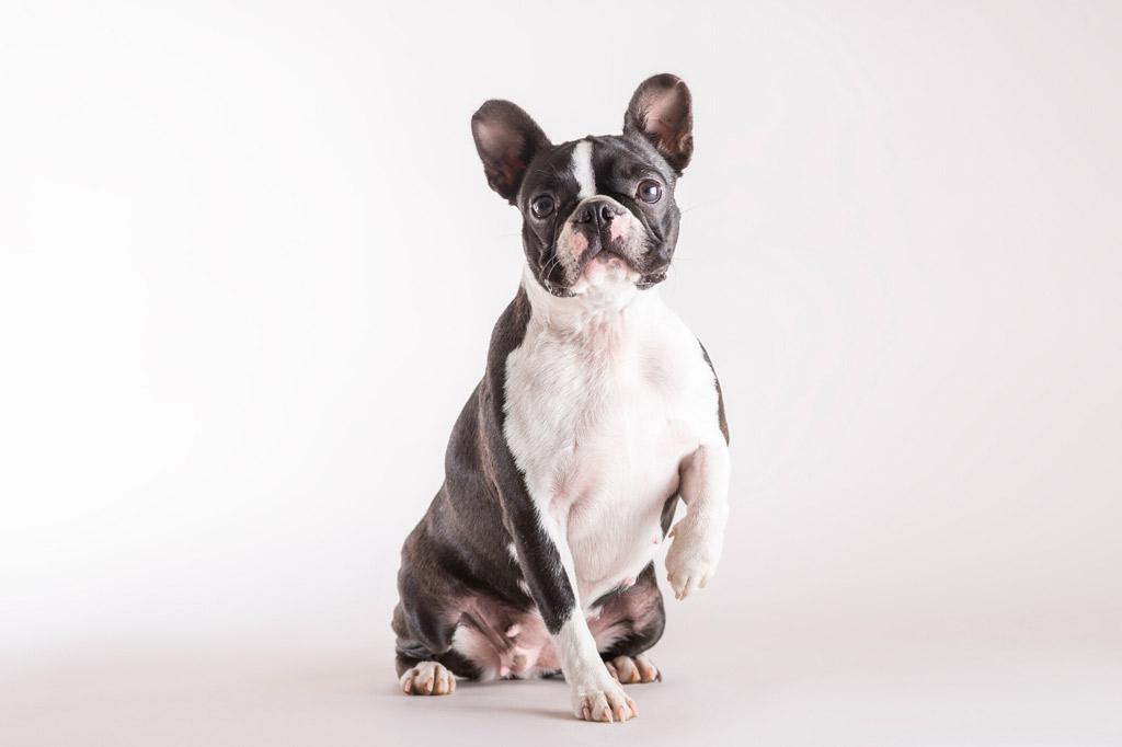 boston-terrier-flatulence