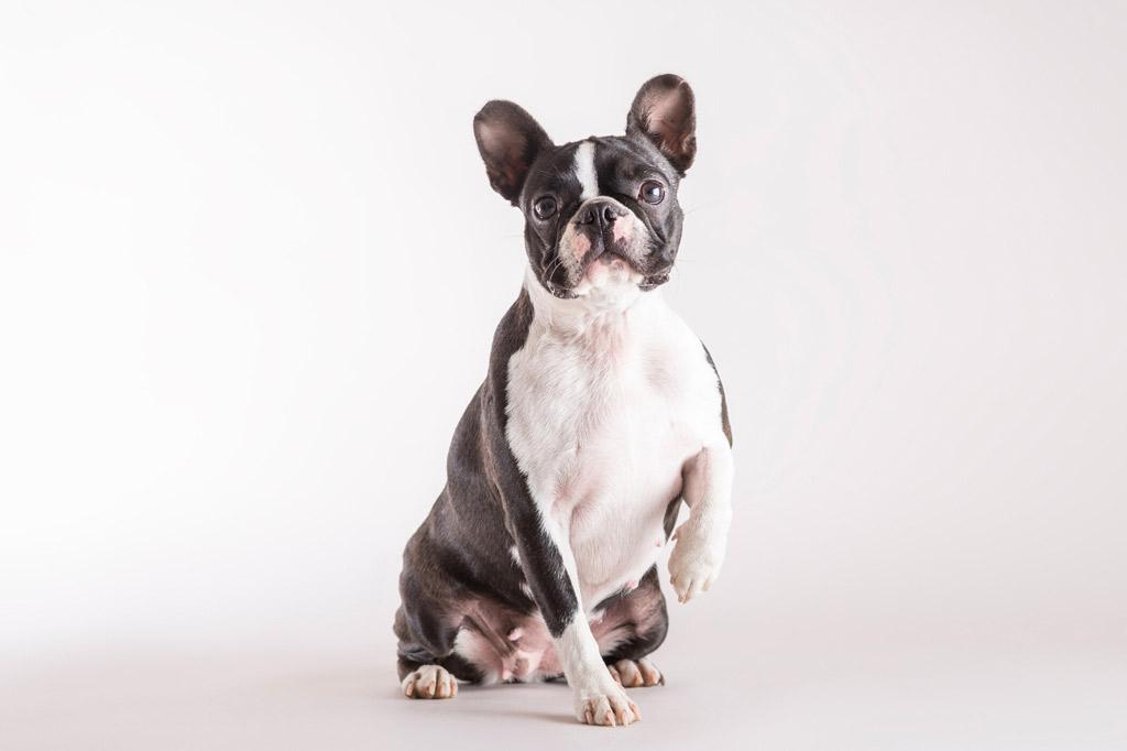 boston-terrier-flatulence