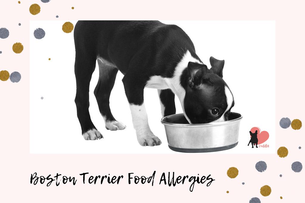 boston-terrier-food-allergies