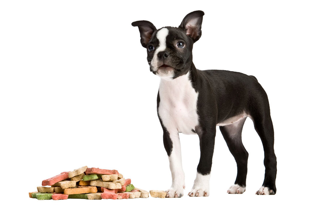 boston-terrier-food