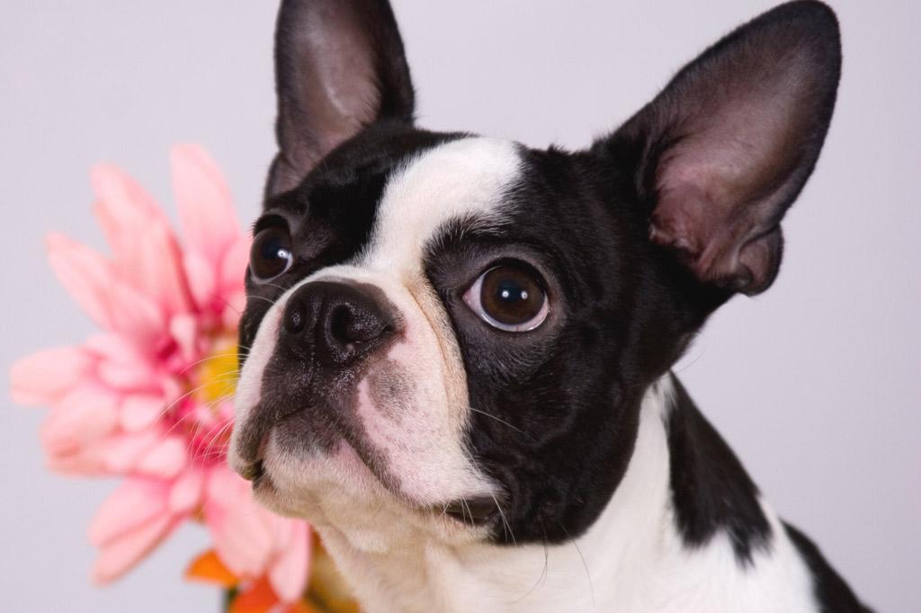 boston-terrier-for-adoption