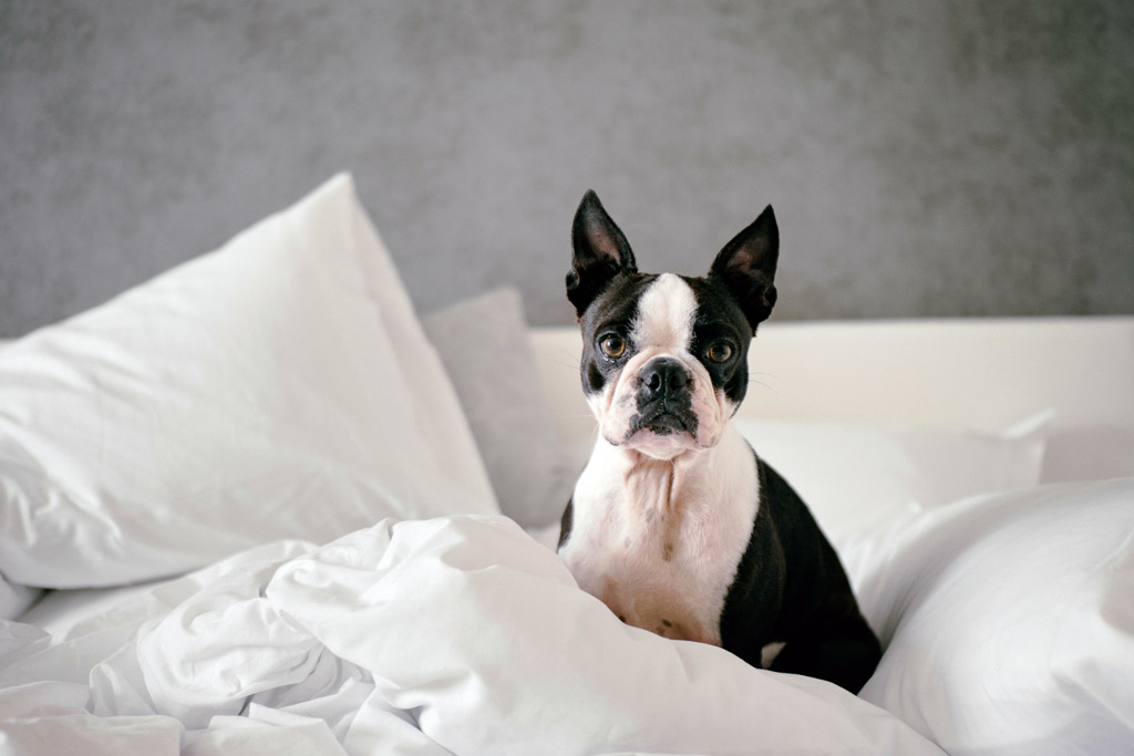 boston-terrier-for-allergic-owners