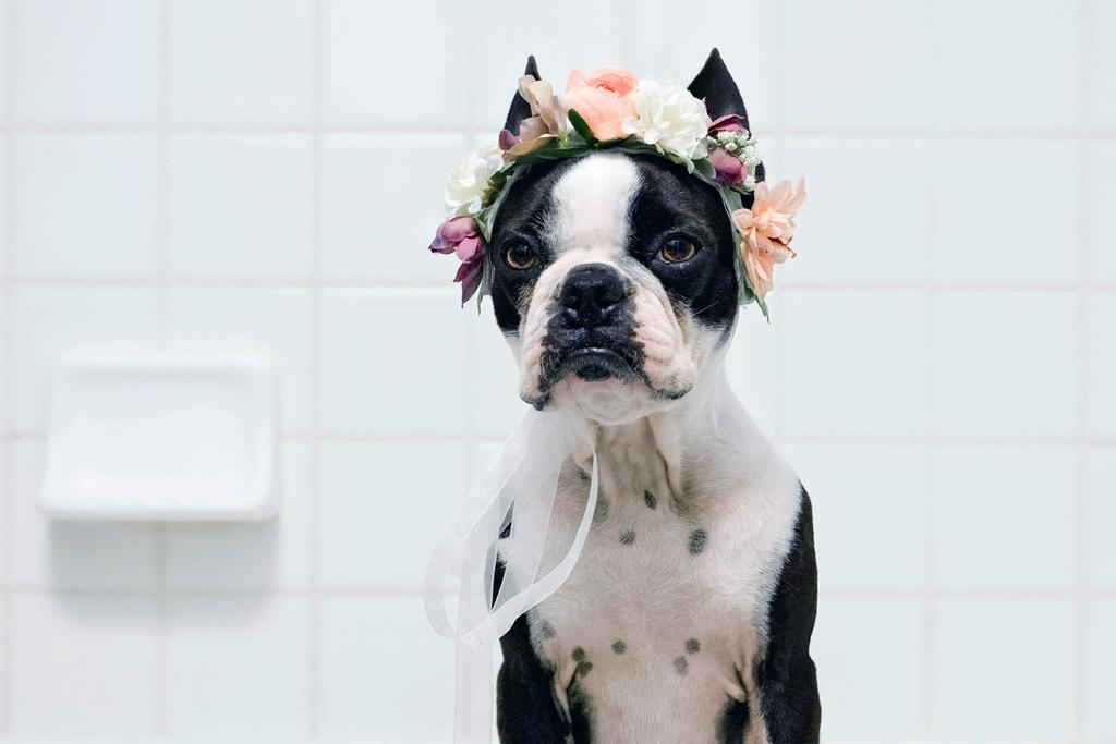 boston-terrier-grooming
