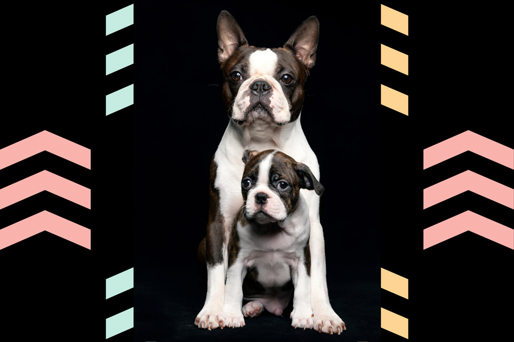boston-terrier-growth-stages
