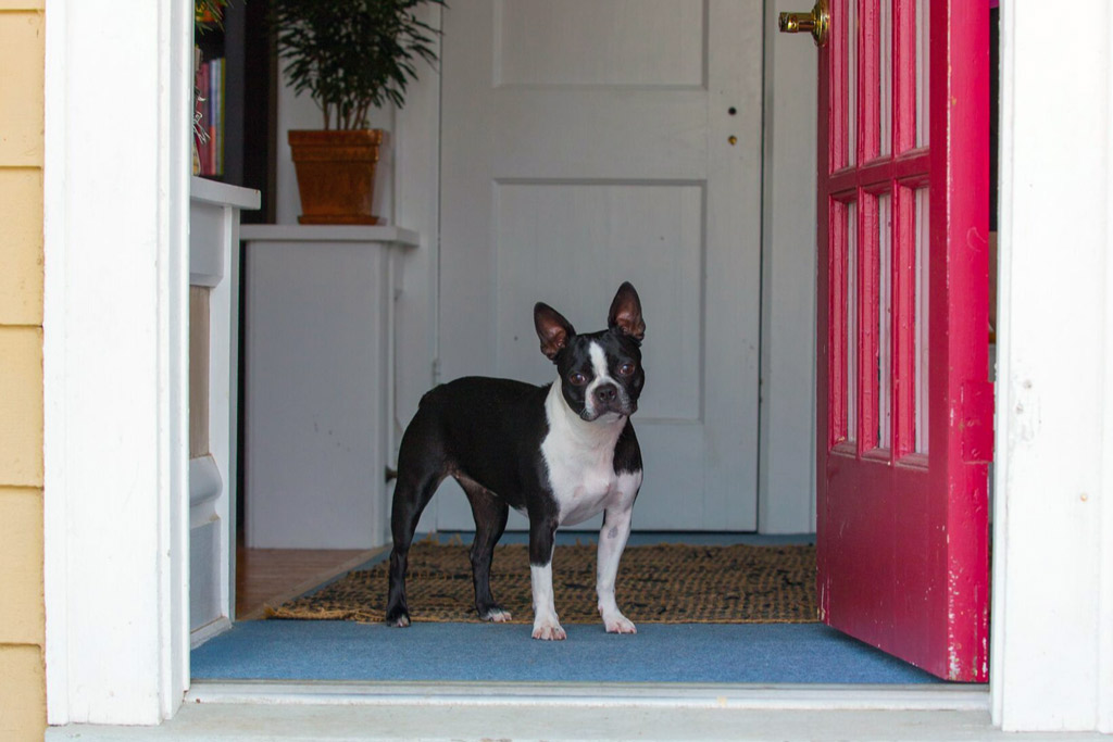 boston-terrier-home-alone-for-how-long