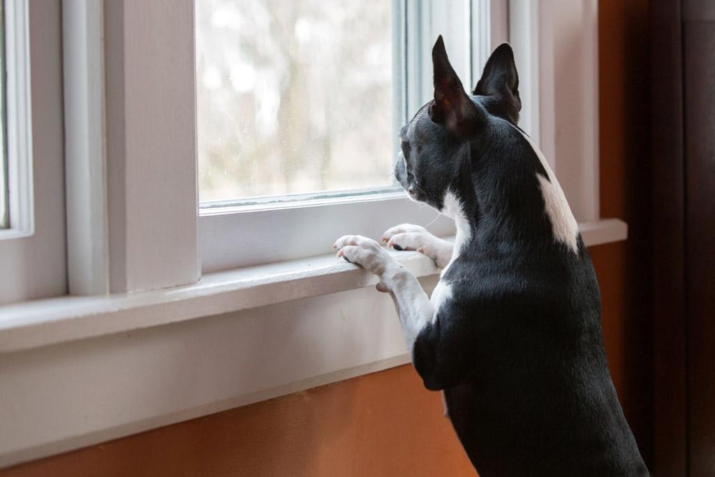 boston-terrier-home-alone