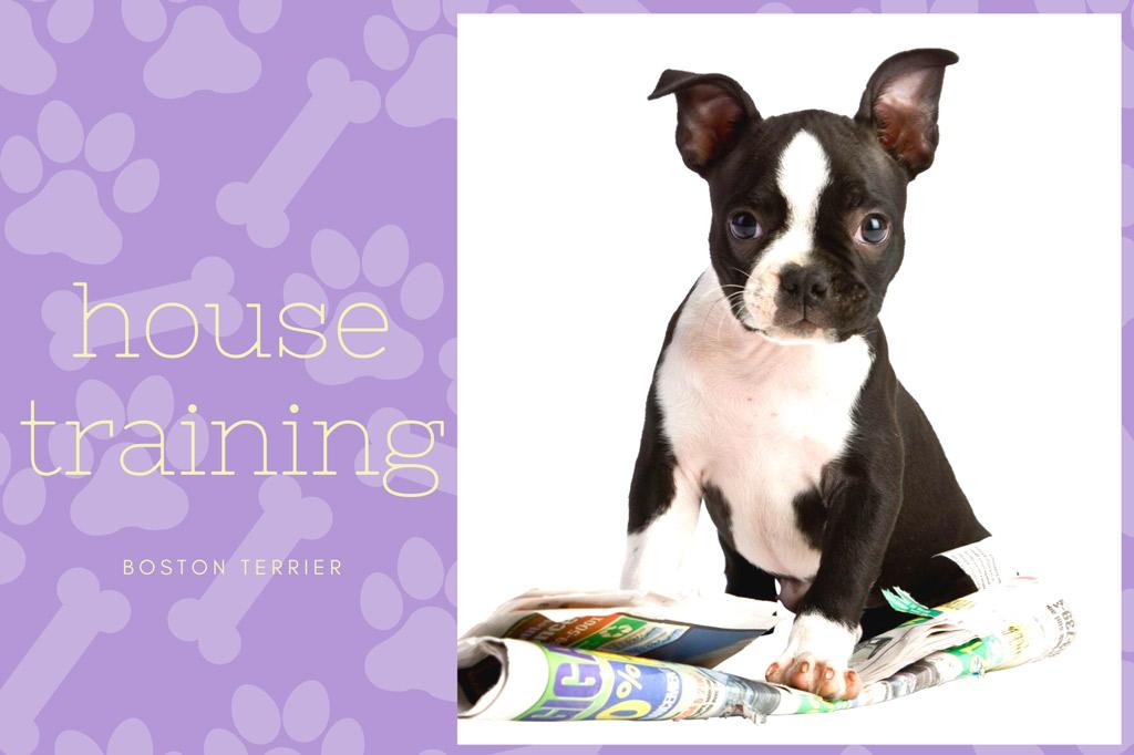 boston-terrier-house-training