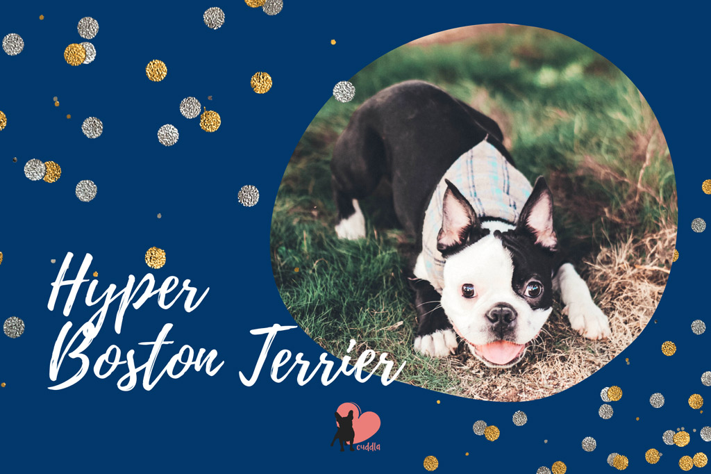 boston-terrier-hyper