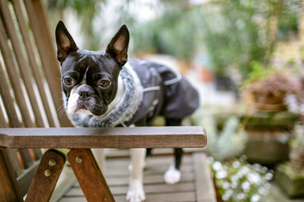 boston-terrier-in-the-garden