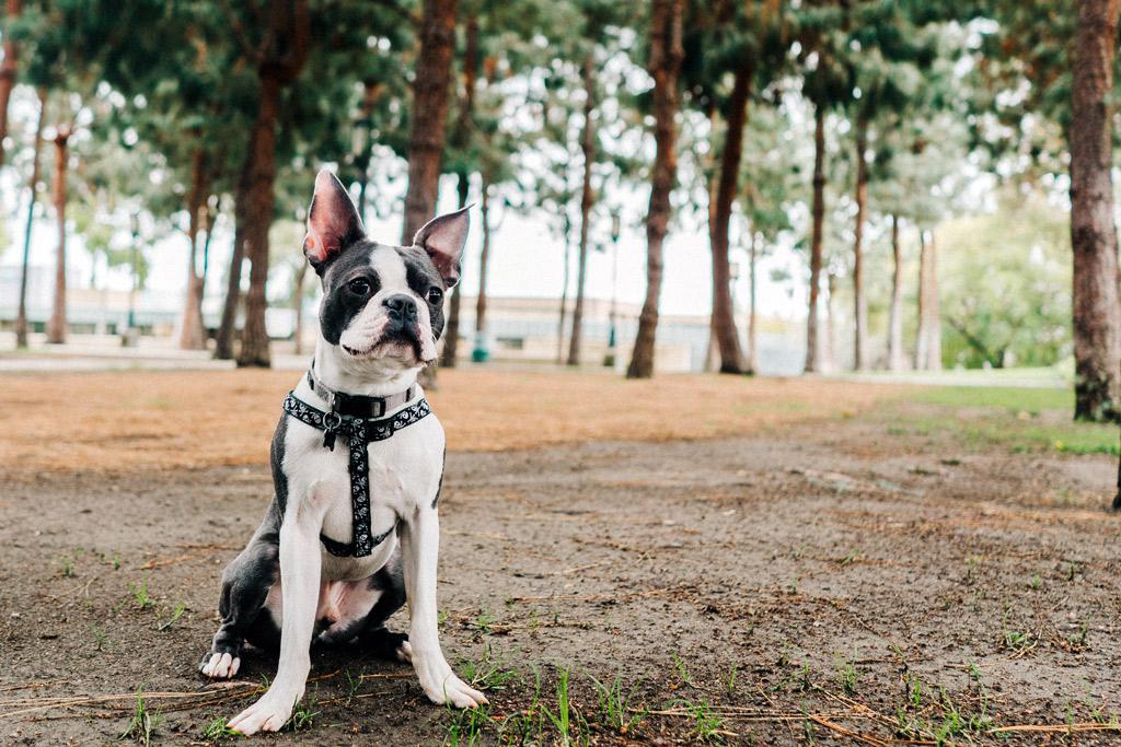 boston-terrier-in-the-park