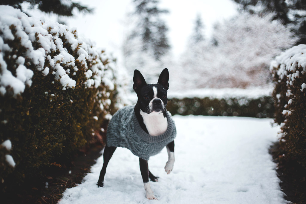 boston-terrier-in-the-snow