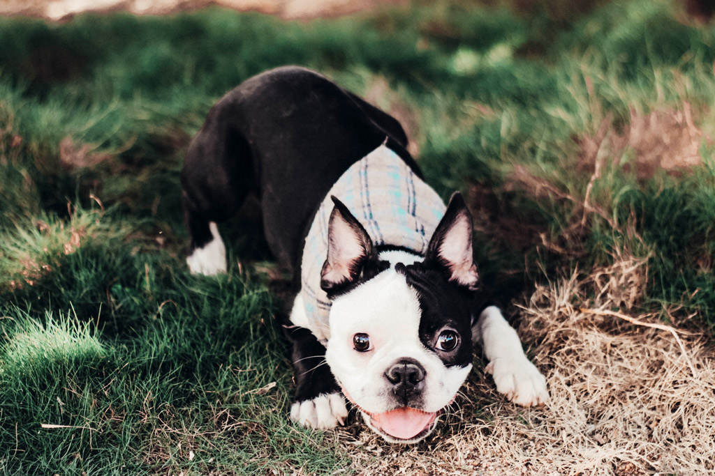 boston-terrier-intelligent-expression
