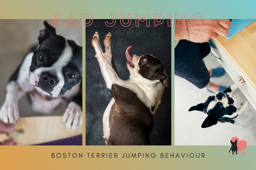 boston-terrier-jumping-behaviour