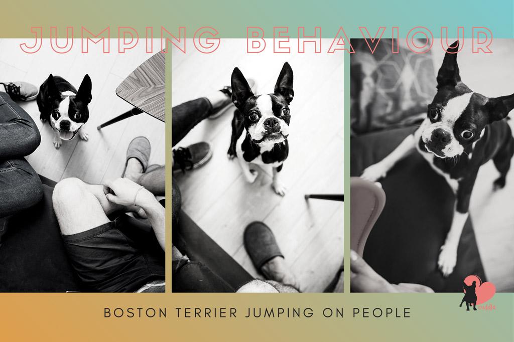 boston-terrier-jumping-on-people