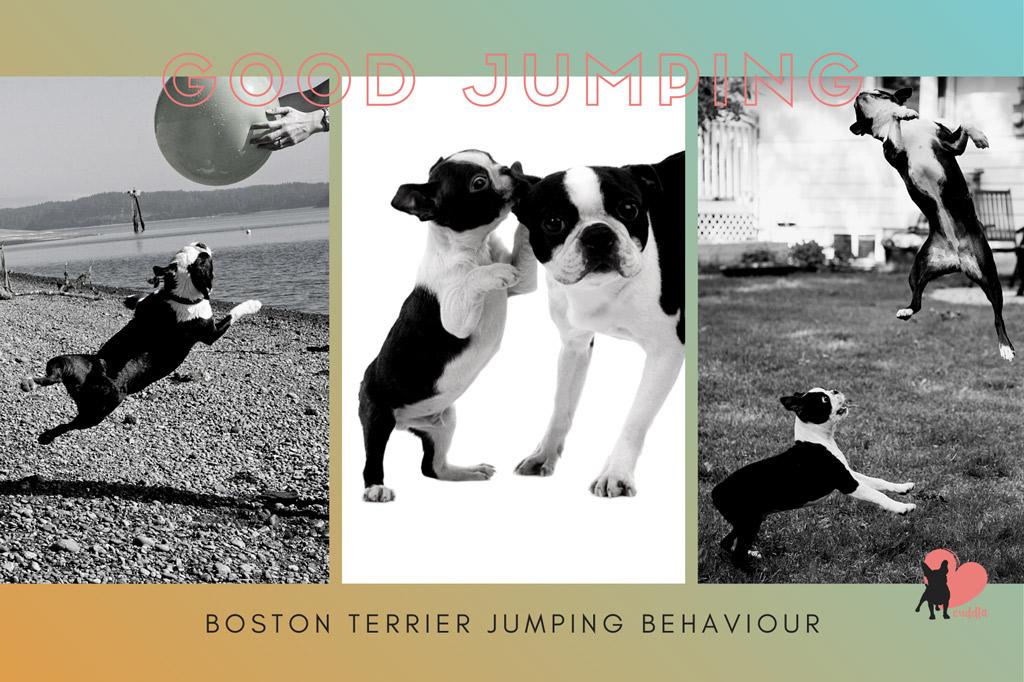 boston-terrier-jumping-reasons