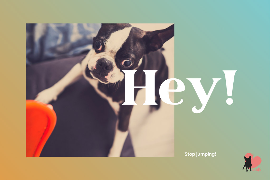 boston-terrier-jumping