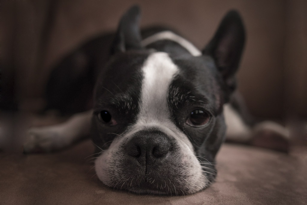boston-terrier-making-noises