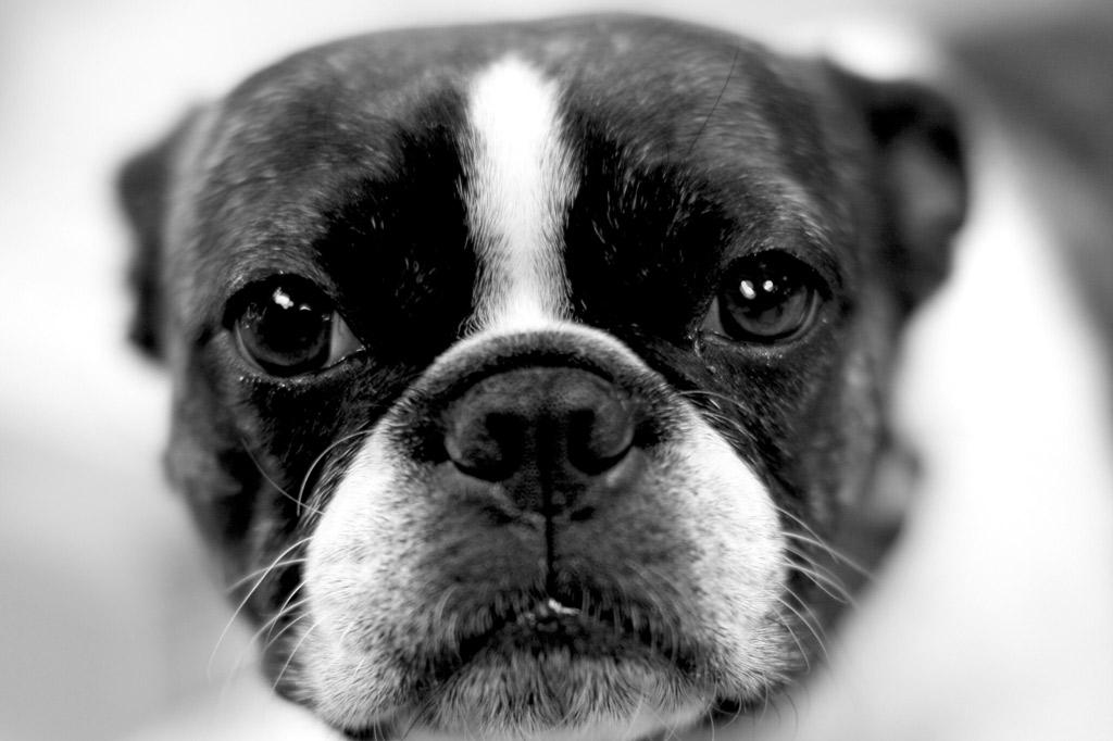 boston-terrier-nose-wrinkles-care