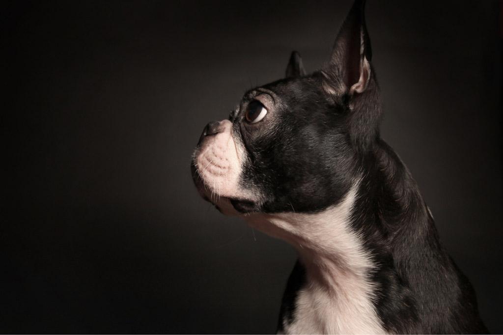 boston-terrier-nose-wrinkles
