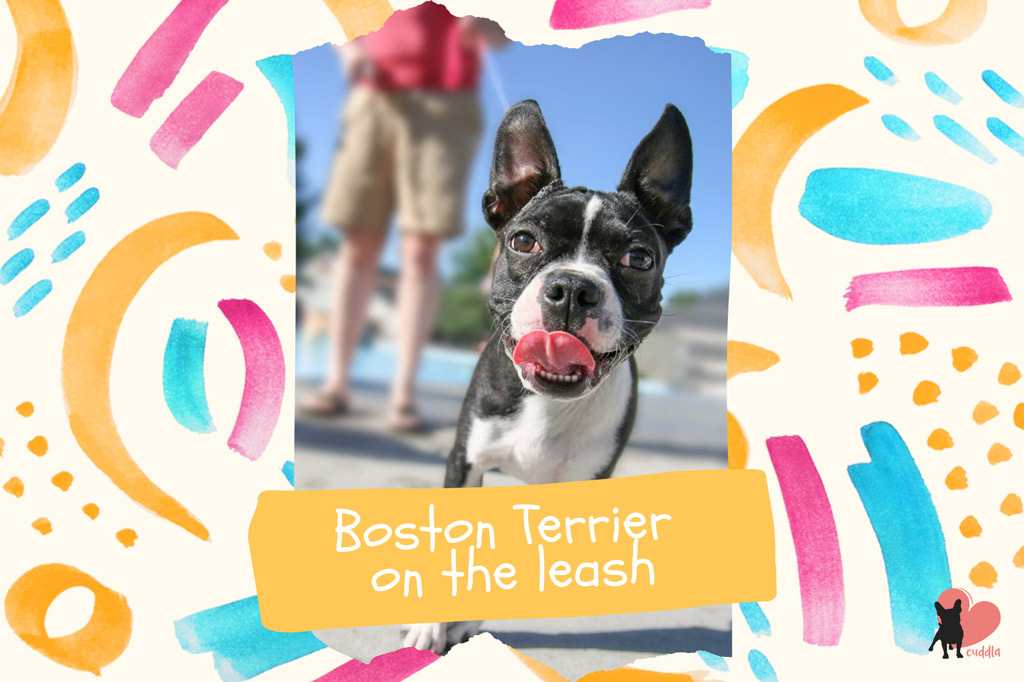 boston-terrier-on-the-leash