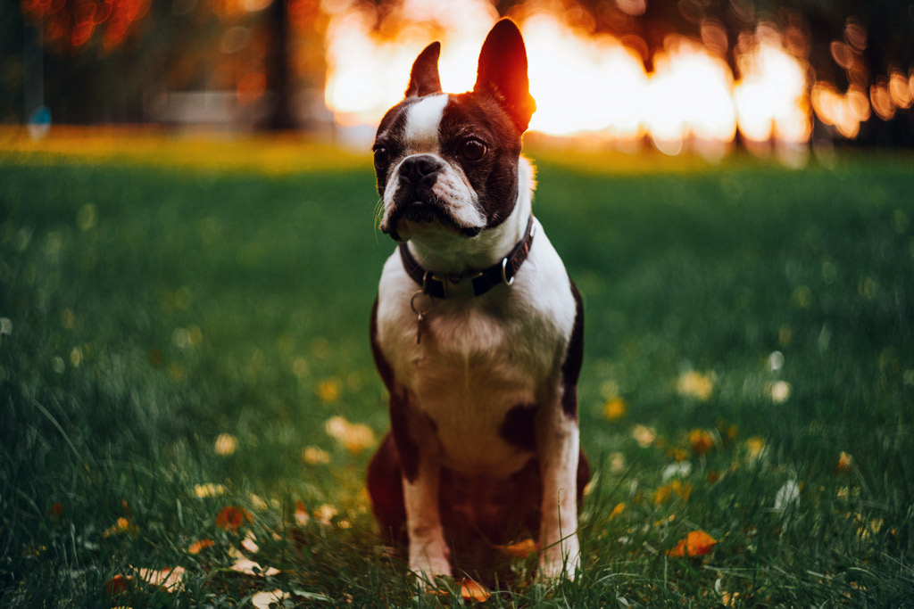 boston-terrier-outdoors