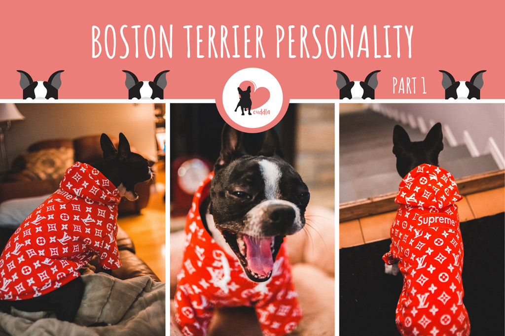 boston-terrier-personality-1